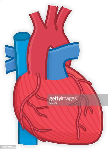 body parts human heart organ anatomy - coronary artery stock illustrations, clip art, cartoons, & icons
