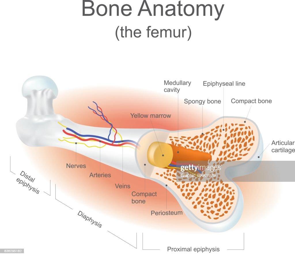Erfreut Frosch Anatomie Diagramm Bilder - Menschliche Anatomie ...