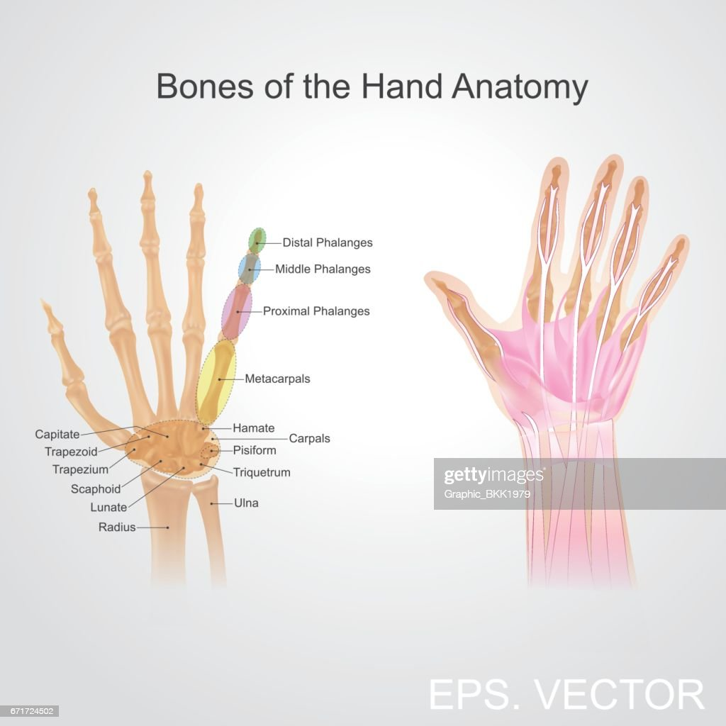 Bone Of The Hand Anatomy Vector Art Getty Images