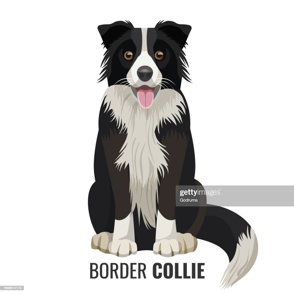 Border Collie pet isolated on white vector illustration