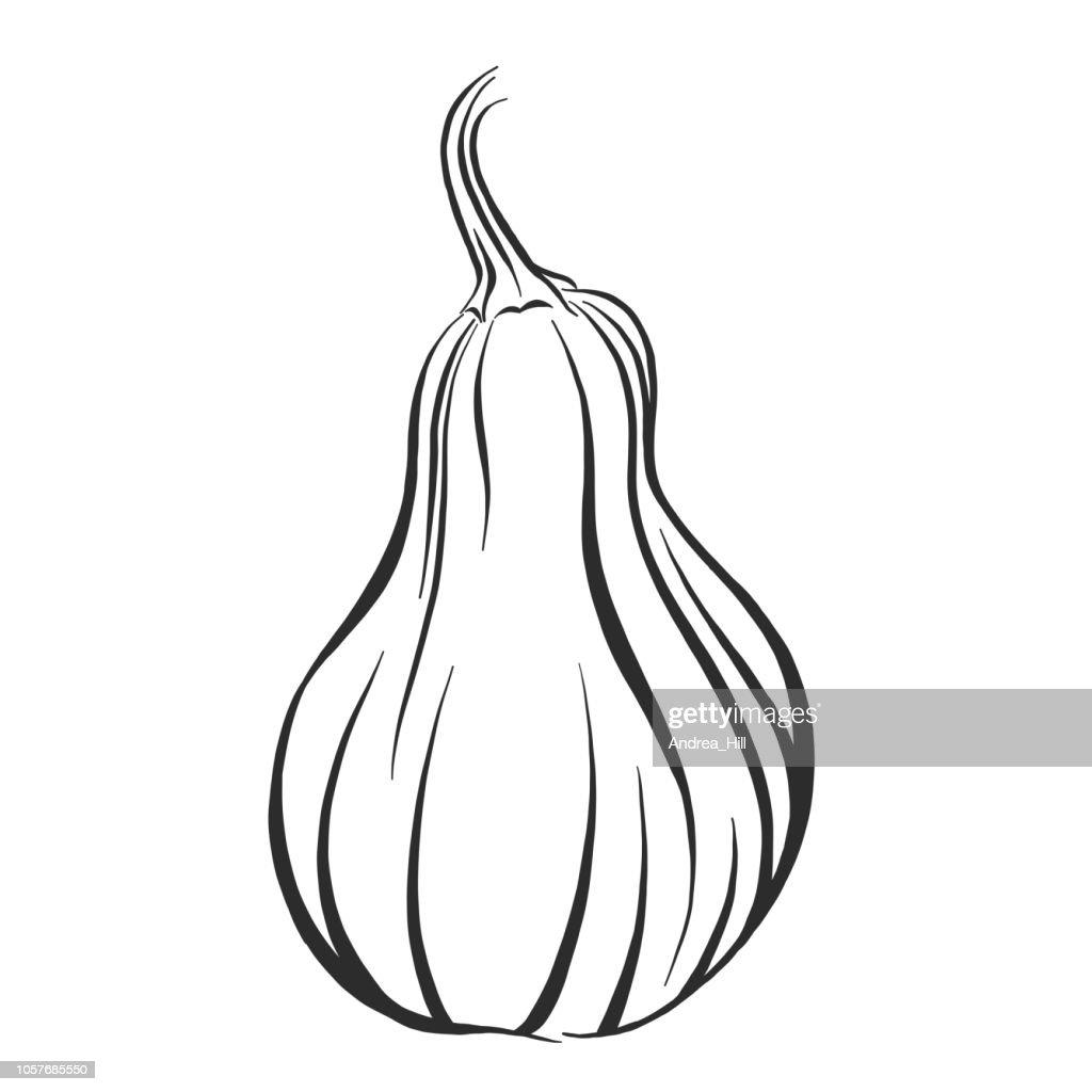 Boston Marrow Squash Sketch Vector Illustration