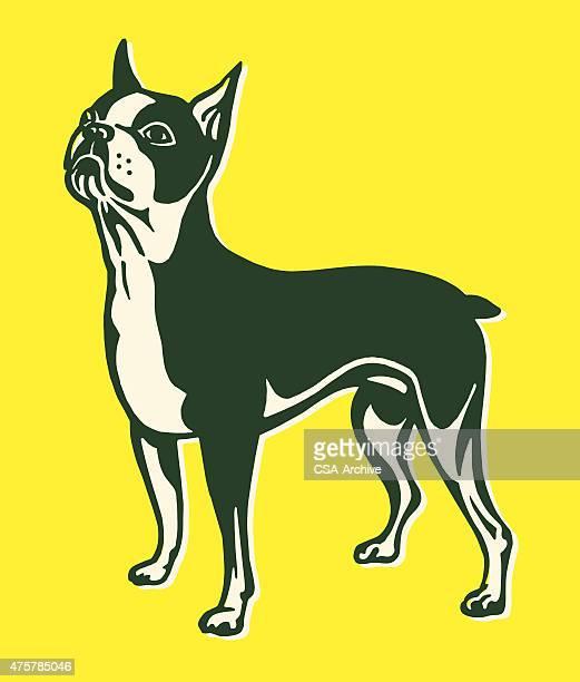 boston terrier - boston terrier stock illustrations