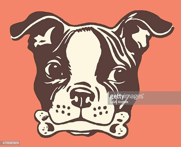boston terrier with bone in its mouth - boston terrier stock illustrations