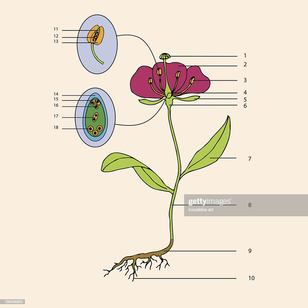 botanic, flower morphology