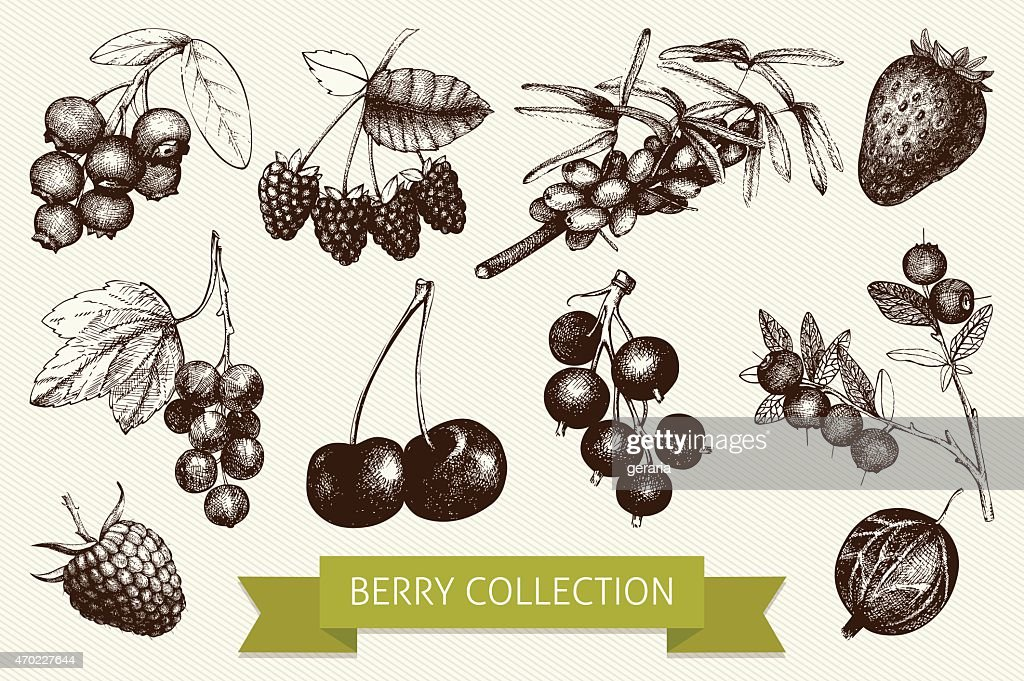 Botanical illustration of engraved berry