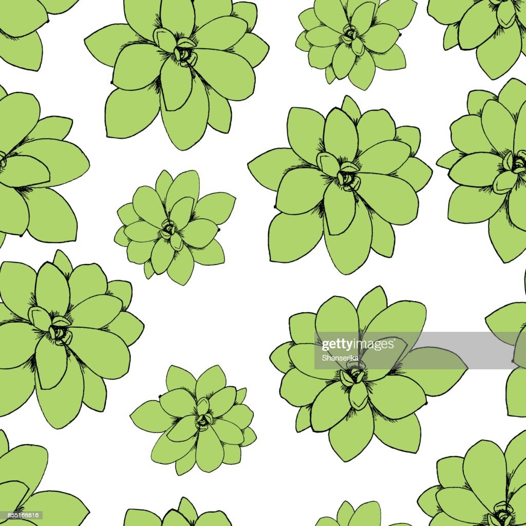 Botanical illustration of succulent rosette plant Echeveria. Seamless pattern vector clip art on a white background