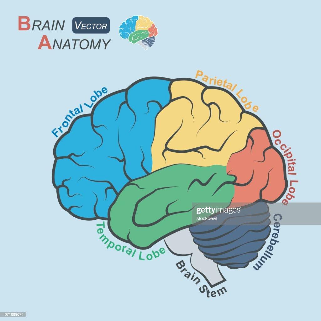 Brain Anatomy Vector Art | Getty Images