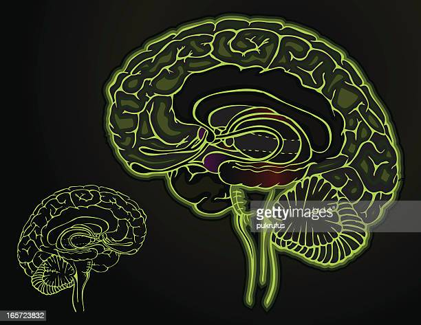 brain - dark - diencephalon stock illustrations, clip art, cartoons, & icons