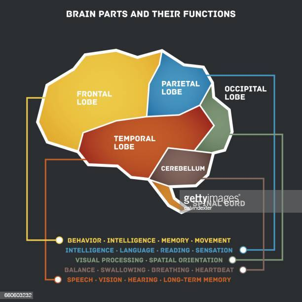 brain parts and their functions - temporal lobe stock illustrations, clip art, cartoons, & icons