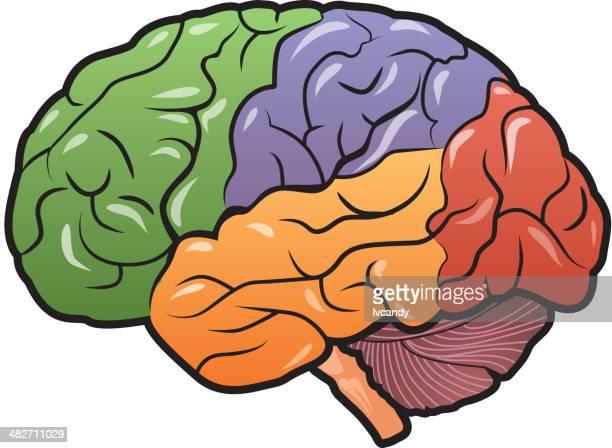 brain region - part of stock illustrations