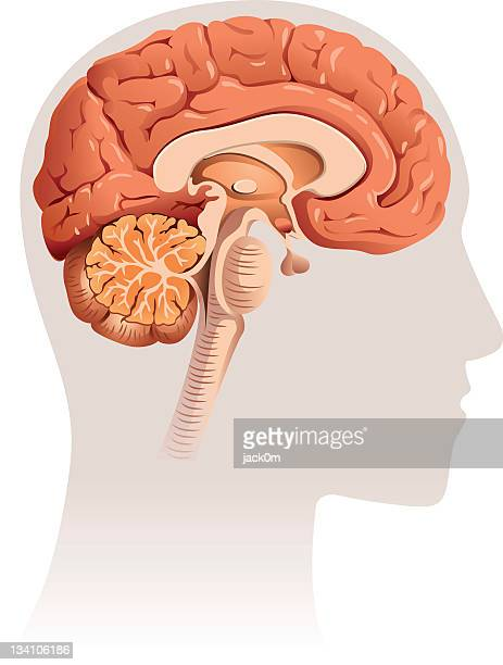 brain section - human body part stock illustrations