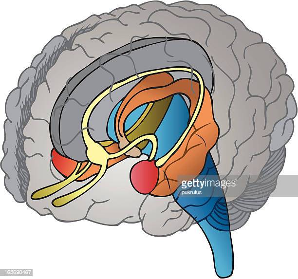 brain - diencephalon stock illustrations, clip art, cartoons, & icons