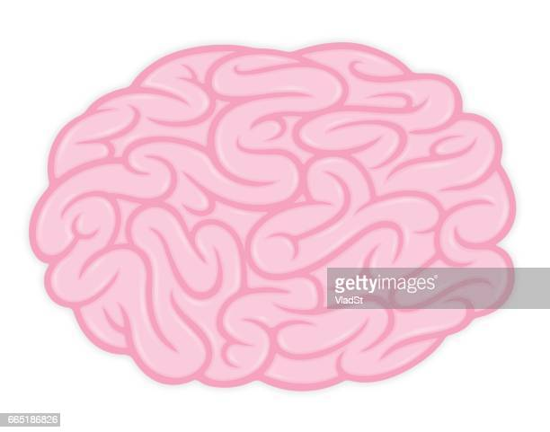 Brain vector illustration human anatomy