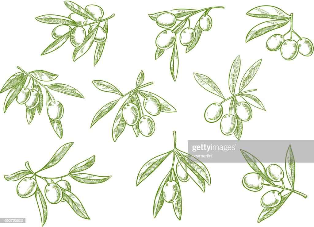 Branch of fesh olives vector sketch icons set