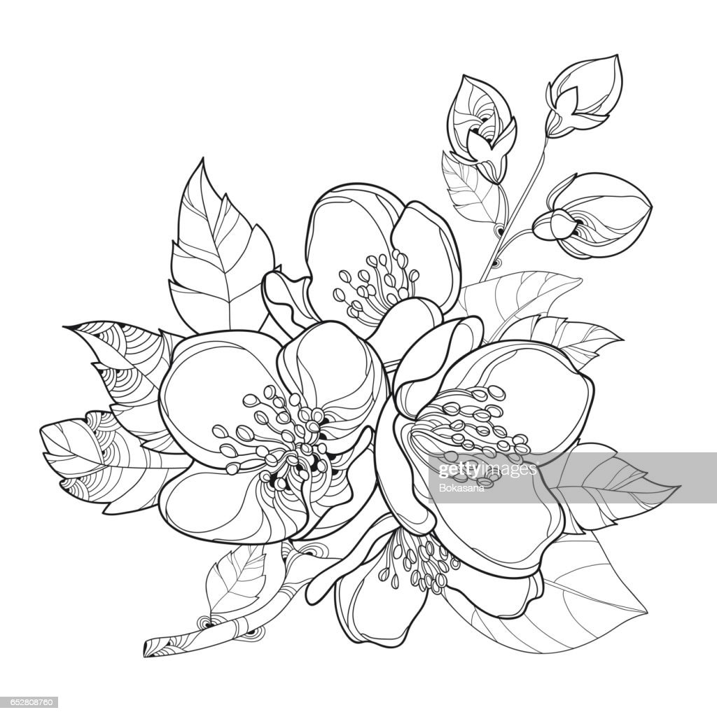 Branch With Jasmine Flowers Bud And Leaves Isolated On White Vector