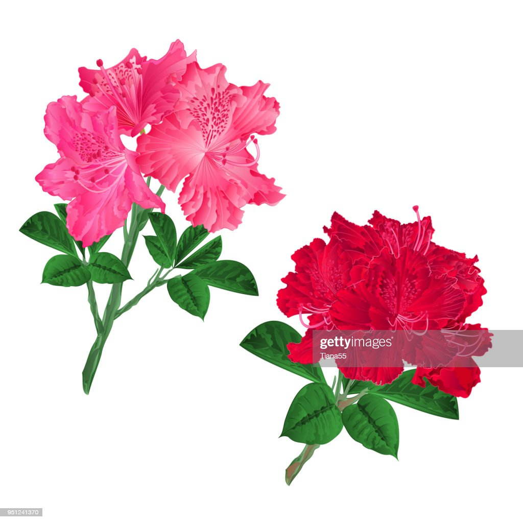 Branches  pink and red flowers rhododendrons  mountain shrub on a white background set seven vintage vector illustration editable