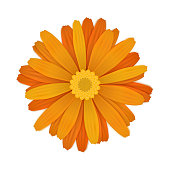 Bright colourful orange gerbera flower isolated on white