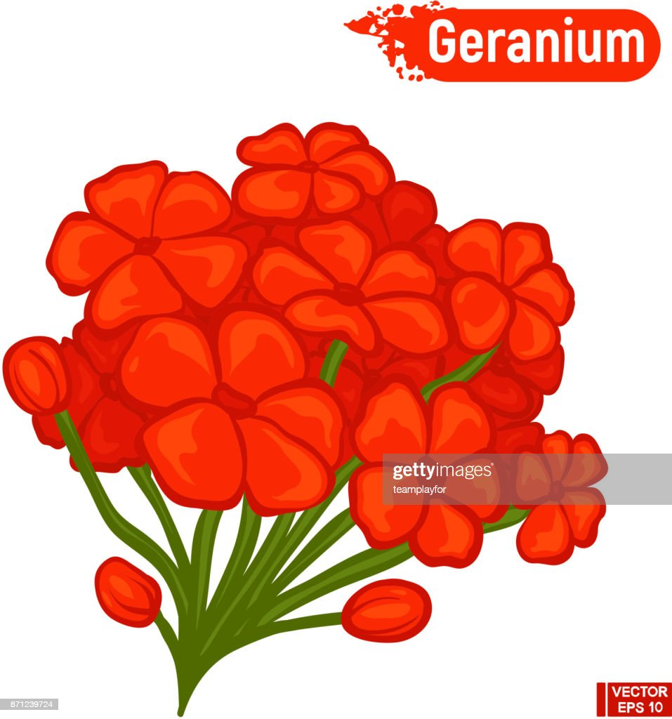 Bright red geranium flowers.