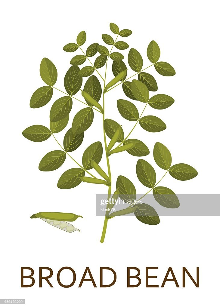 Broad bean plant with leaves and pods. Vector illustration.