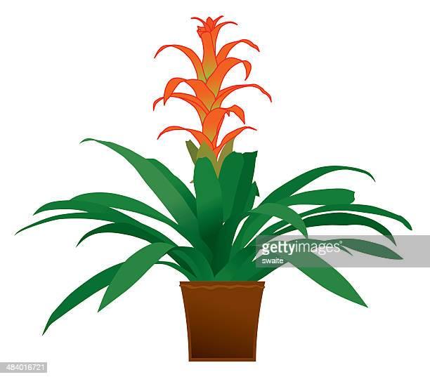 bromeliad - orange - bromeliad stock illustrations