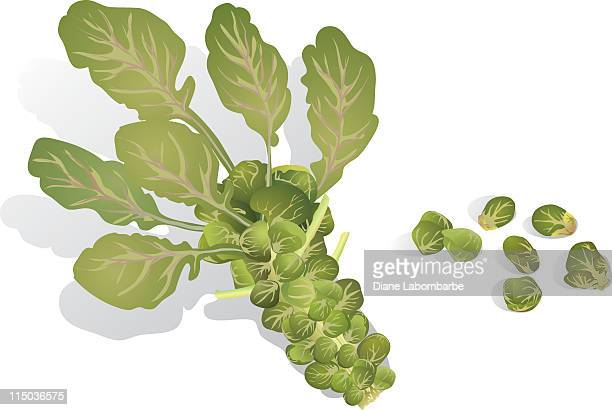 brussels sprout - brussels sprout stock illustrations, clip art, cartoons, & icons