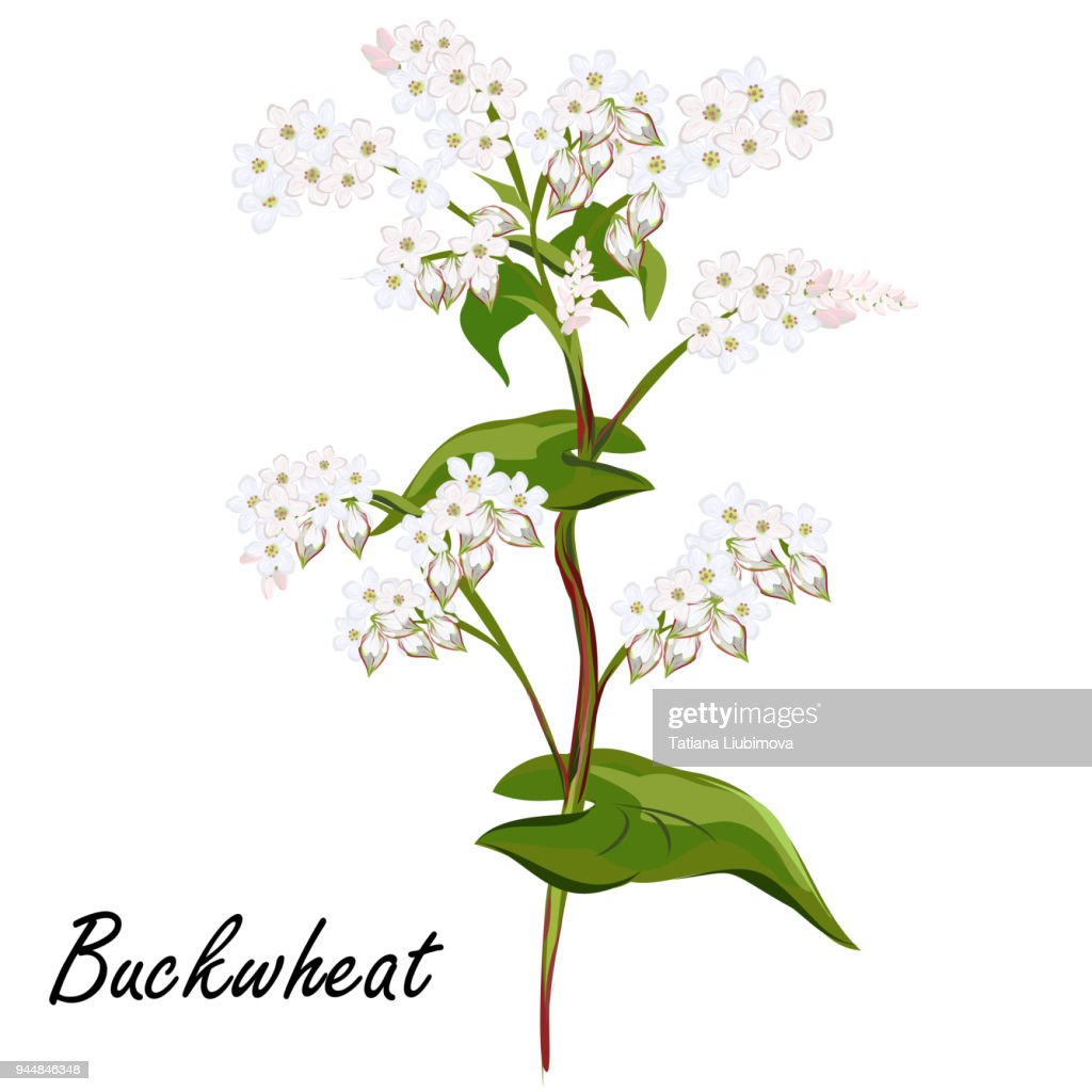Buckwheat flowers, vector illustration.
