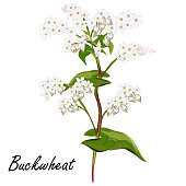 Buckwheat flowers, vector illustration.