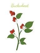 Buckwheat plant, cereal grains, vegetarian food.Flat style. Vector illustration
