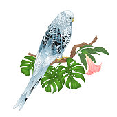 Budgerigar, blue pet parakeet or shell parakeet or budgie home pet with philodendron and Brugmansia on a white background vintage vector illustration editable