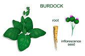 burdock roots and inflorescence. vector