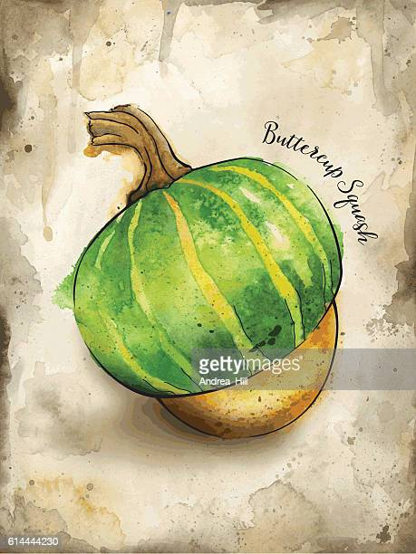 Buttercup Squash Painted in Watercolor - Vector Illustration