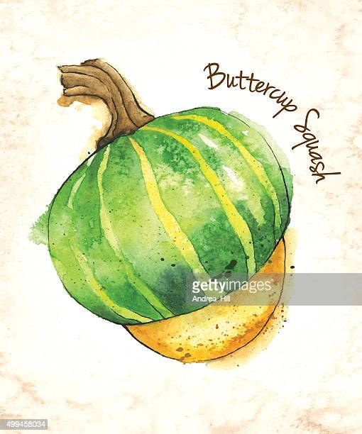 Buttercup Squash Vector Illustration Painted in Watercolor