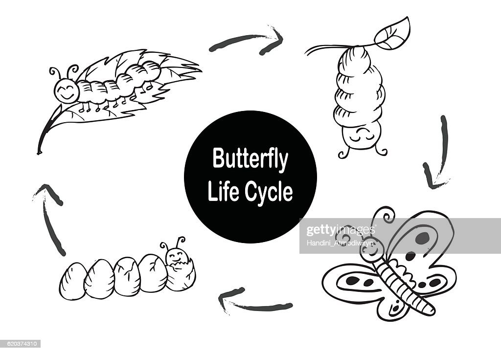 Butterfly life cycle. Hand drawing illustration.