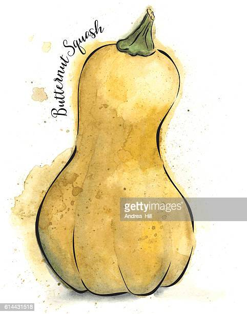 Butternut Squash Painted in Watercolor - Vector Illustration