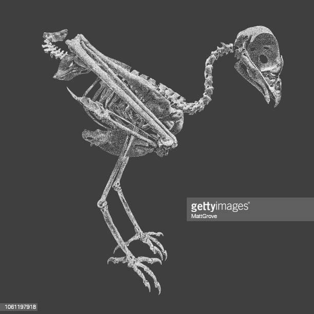 Buzzard Skeleton