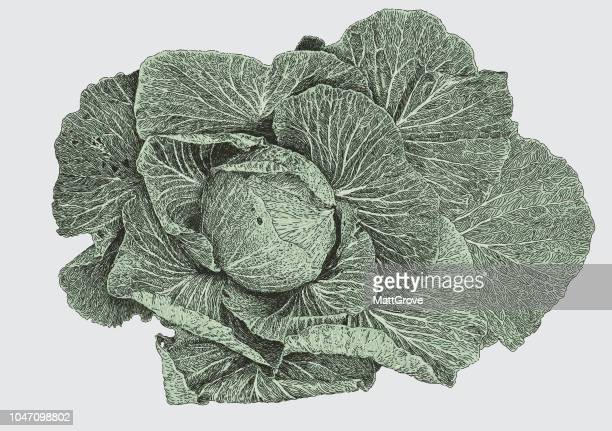 cabbage - white cabbage stock illustrations, clip art, cartoons, & icons