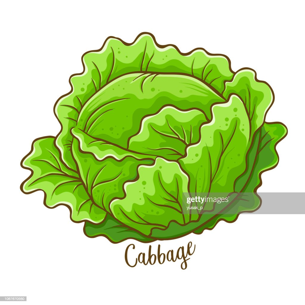Cabbage Vegetable Hand Drawing