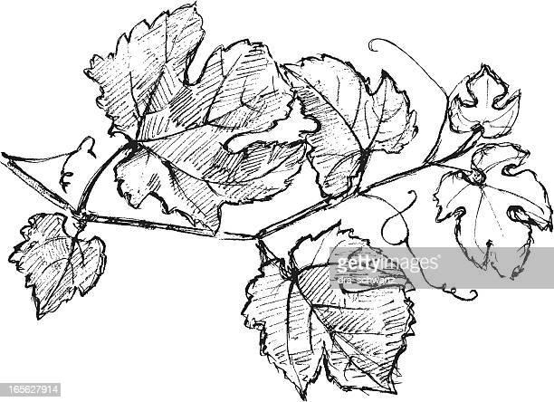 cabernet sauvignon vine - vine stock illustrations
