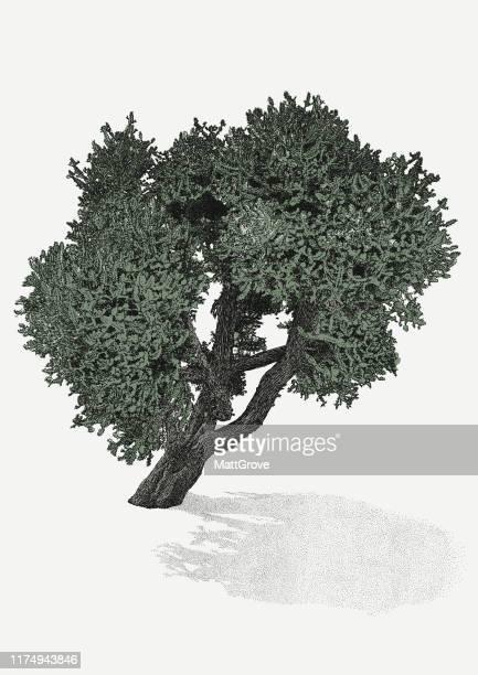 illustrations, cliparts, dessins animés et icônes de arbre de cactus - olivier