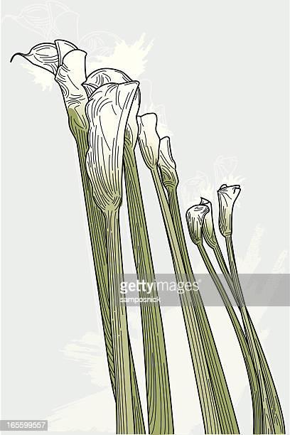 calla lilies - calla lily stock illustrations