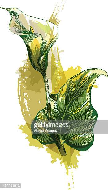 calla lilly - calla lily stock illustrations, clip art, cartoons, & icons