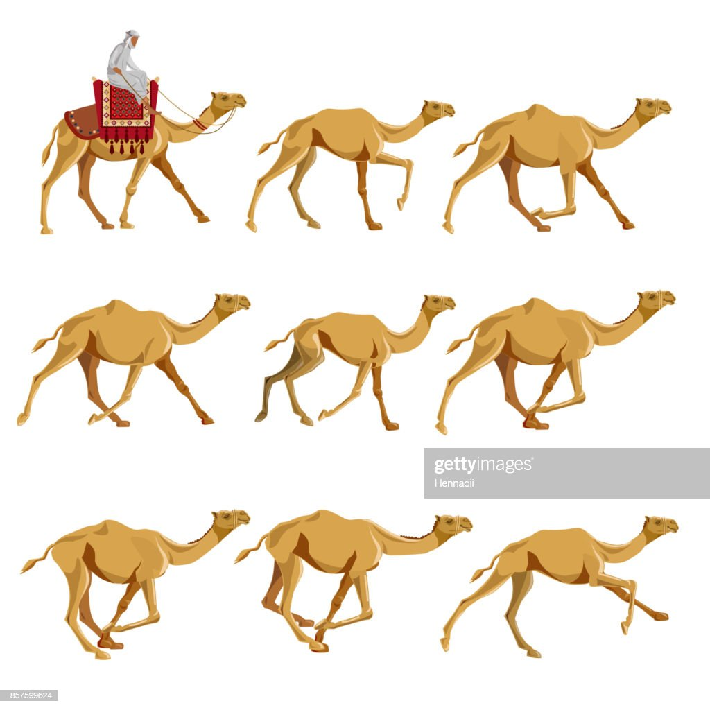 Camels in various poses