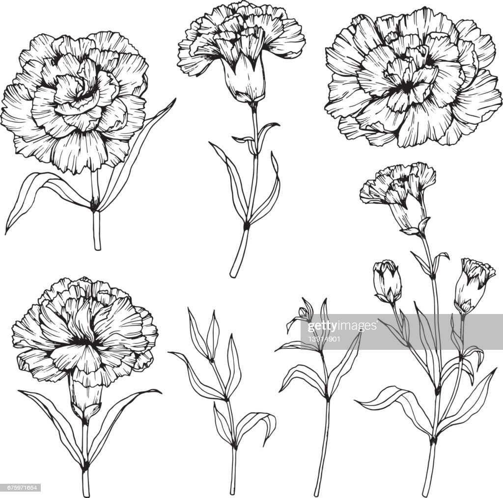 Carnation flowers drawing and sketch with line-art on white backgrounds.