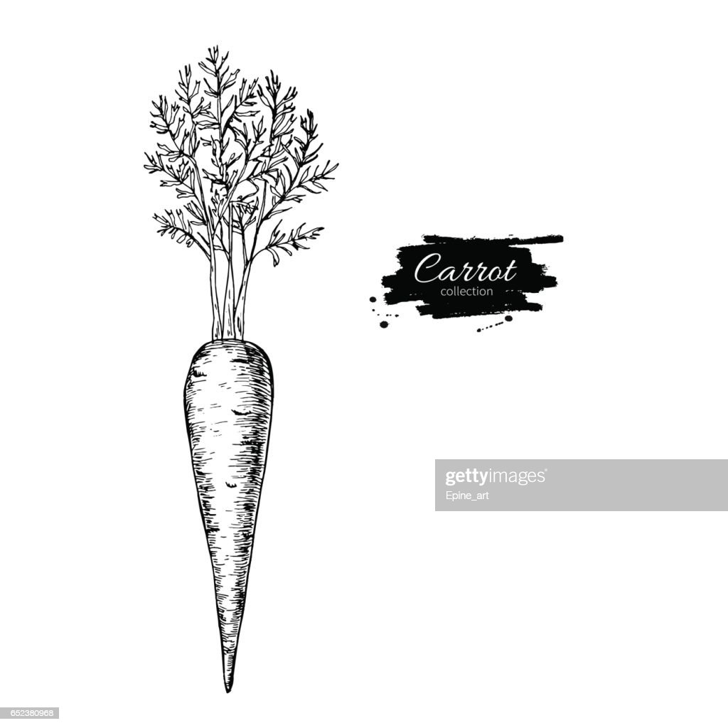 Carrot hand drawn vector illustration. Isolated Vegetable engrav