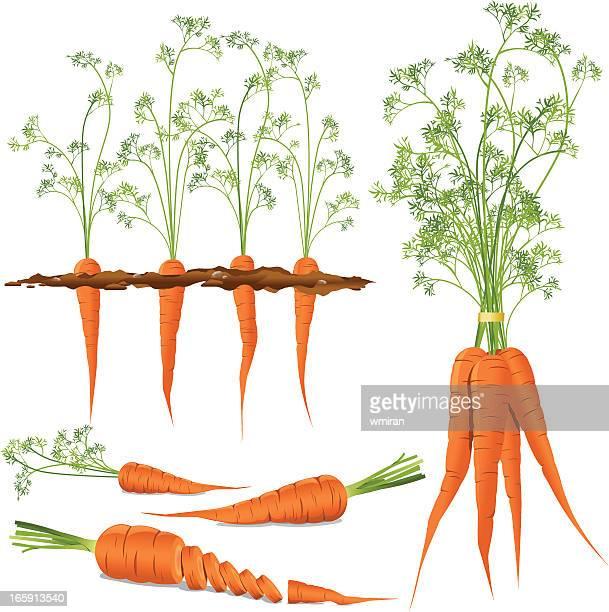 ilustrações de stock, clip art, desenhos animados e ícones de cenouras - cenoura
