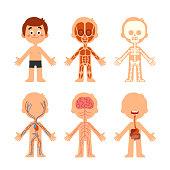 Cartoon boy body anatomy. Human biology systems anatomical chart. Skeleton, veins system and organs vector illustration