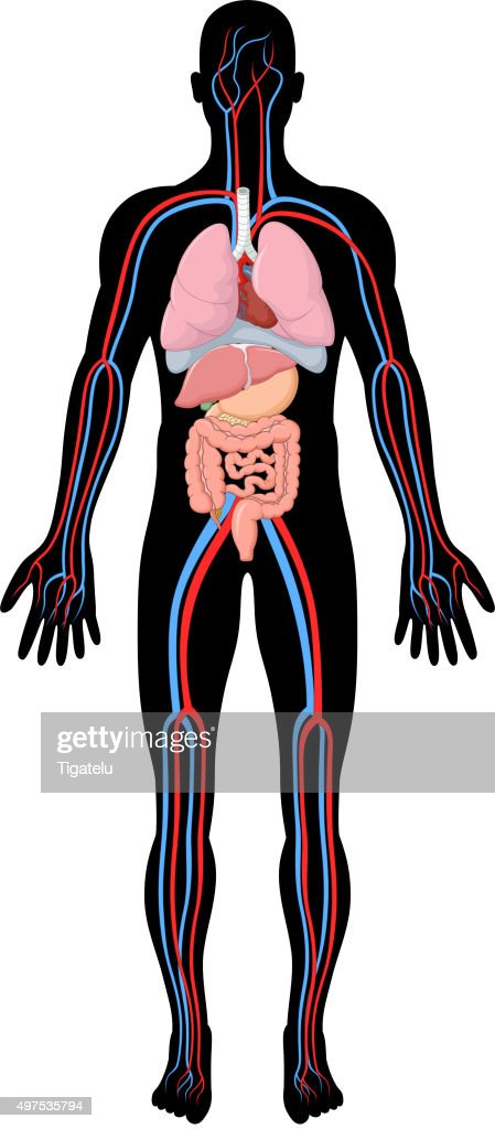 Cartoon Illustration of human body anatomy (HBA)