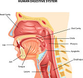 Cartoon illustration of Human Digestive System