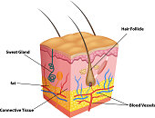 Cartoon illustration of The layers of skin and pores anatomy