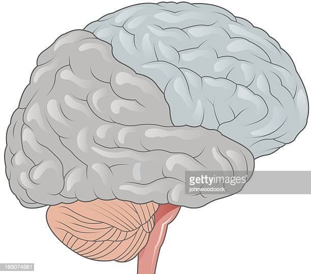 cartoon image of the human brain with each area in color - frontal lobe stock illustrations, clip art, cartoons, & icons